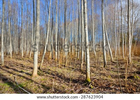 Aspen forest in the early spring in Estonia #287623904