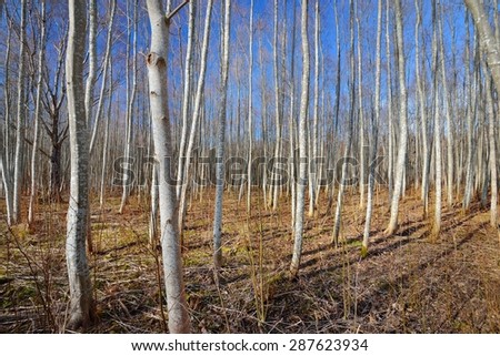 Aspen forest in the early spring in Estonia #287623934