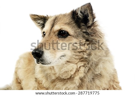 old mixed breed dog in  white studio #287719775