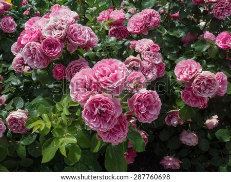 Bush pink rose close-up. Flowers and gardens #287760698