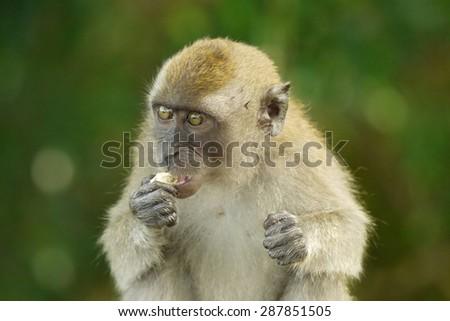 Portrait of a Monkey #287851505
