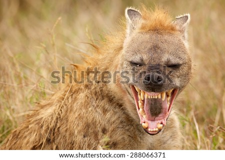 Hyena Laughing straight at the camera