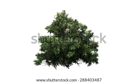 american boxwood - separated on white background #288403487