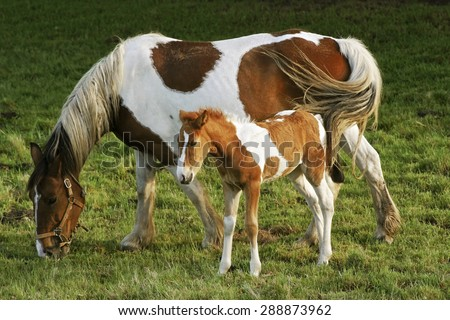 foal and mare horses  white and brown in the meadow #288873962