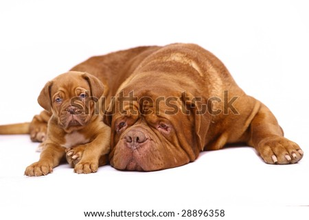 The big dog and puppy on a white background. #28896358