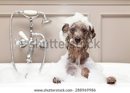 A cute little terrier breed dog taking a bubble bath with his paws up on the rim of the tub Royalty-Free Stock Photo #288969986
