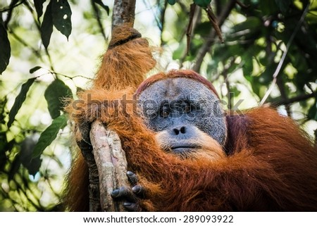 Free-living orang utan's spotted while trekking the jungle in Sumatra, Indonesia #289093922