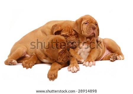Three puppies of breed a mastiff. #28914898