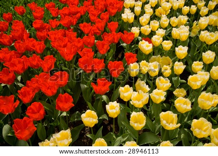 A field of red and yellow tulips #28946113