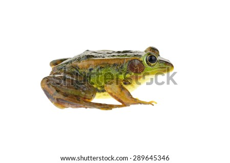 Frog isolated on a white background  #289645346