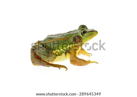 Frog isolated on a white background  #289645349