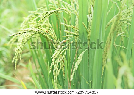Green rice field #289914857