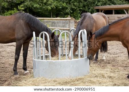 brown Holsteiner horses standing on a hay rack and eat hay #290006951