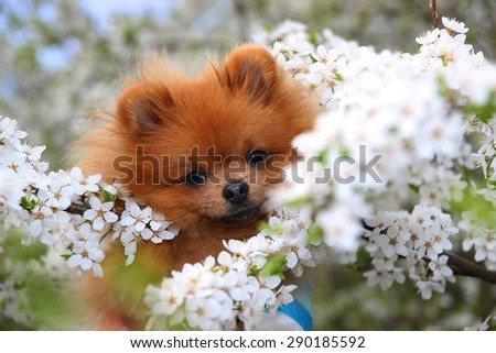 Cute pomeranian dog in the spring blossom #290185592