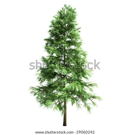 hornbeam tree isolated #29060242
