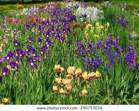 colored irises flower garden in the spring #290793056