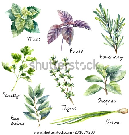Watercolor collection of fresh herbs isolated: mint, basil, rosemary, parsley, oregano, thyme, bay leaves, green onion.Herbs vector object isolated on white background. Kitchen herbs and spices banner Royalty-Free Stock Photo #291079289