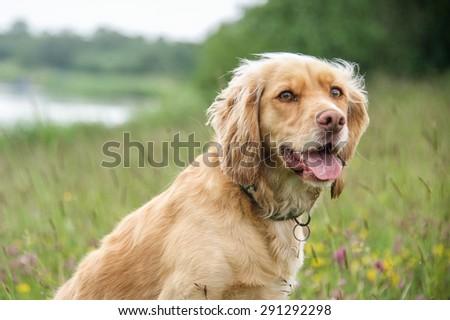 Cocker Spaniel  #291292298