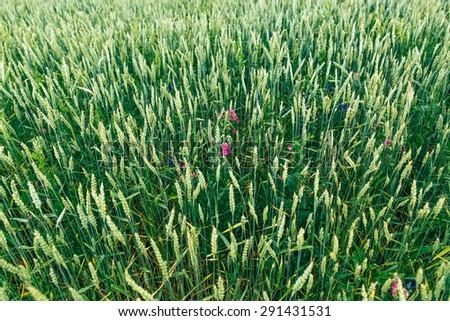 Green wheat #291431531