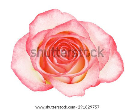 pink rose flower, isolated on white background #291829757