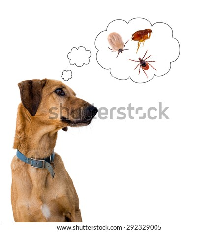 Dog on white considering the problem of tick insects and fleas. Pet care etc.
