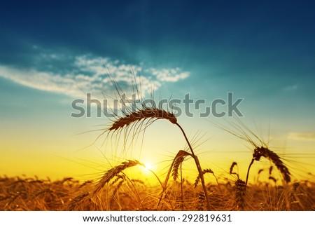 golden harvest under blue cloudy sky on sunset. soft focus #292819631