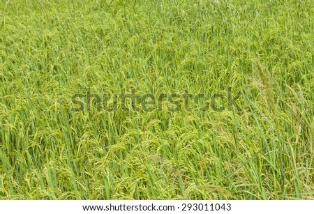 landscape view of a rice field. The rice is ready to be harvested. #293011043