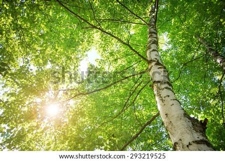 birch tree foliage in morning light with sunlight #293219525