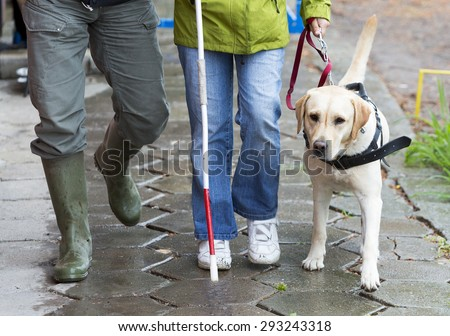 A blind person is led by her golden retriever guide dog during the last training for the dog. The dogs are undergoing various trainings before finally given to the physically disabled people.  #293243318