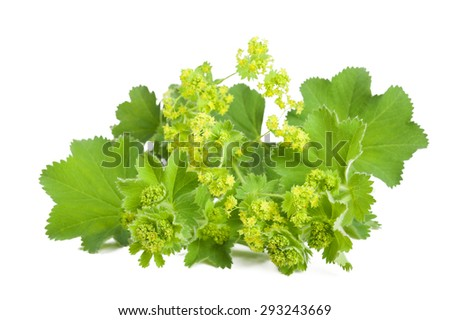 Lady's Mantle in flowering  isolated on white background #293243669