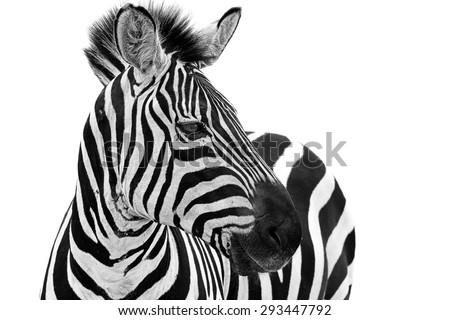Zebra close up portrait. Zebra animal isolated on a white background  Royalty-Free Stock Photo #293447792