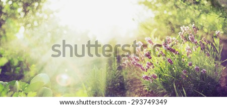 Summer garden background with lavender and Sun rays , banner for website with gardening concept #293749349