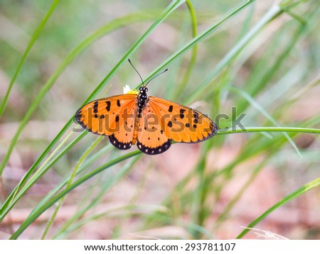 Butterfly Orange Black find nectar on flower of grass. The background blur. #293781107