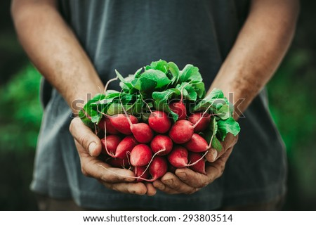 Organic vegetables. Farmers hands with freshly harvested vegetables. Horse radish Royalty-Free Stock Photo #293803514