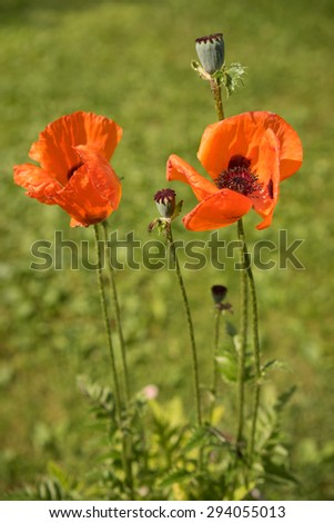 Corn Poppy Flowers Papaver rhoeas in Spring #294055013