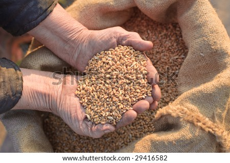 Wheat and hands of the old farmer #29416582