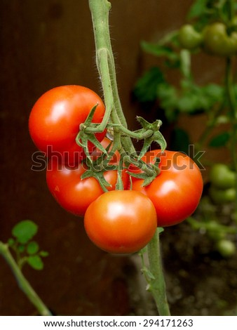 a few tomatoes ripen on the stalk in a greenhouse #294171263