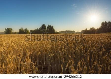 Landscape of wheat field over sunrise #294266312