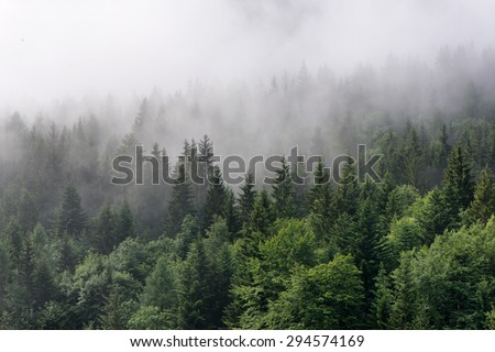 Evergreen Forest Overview - Tops of Tall Green Trees with Dense Fog Rolling In Over Lush Wilderness #294574169
