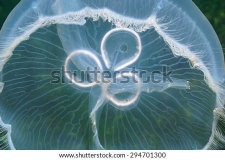 Translucent underwater creature, closeup of a moon jellyfish, Aurelia aurita, Caribbean sea