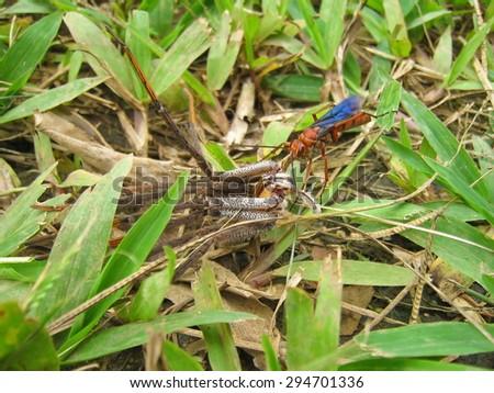 Tarantula hawk wasp dragging its paralyzed prey, Costa Rica, Central America