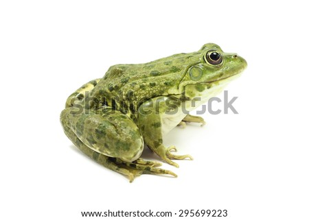 large green marsh frog on a white background #295699223