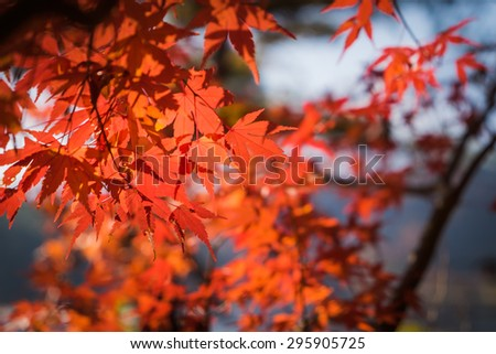 autumnal background, slightly defocused red maple leaves #295905725