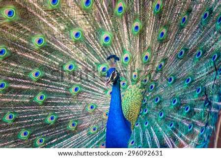 Portrait of beautiful peacock with it feathers out #296092631