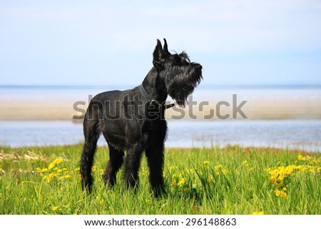 Giant Schnauzer standing on the grass #296148863