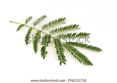 White Popinac, Lead Tree (Leucaena leucocephala (Lamk.) De Wit) #296155718