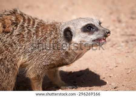 Side view half length profile of a meerkat looking right and snarling  #296269166