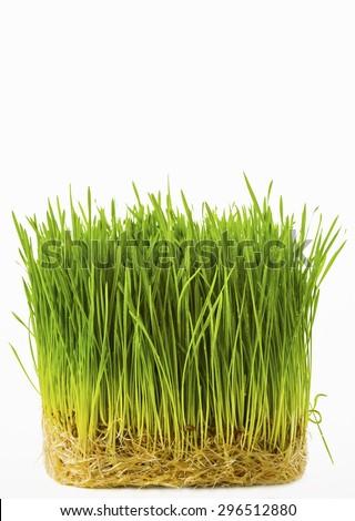 wheat grass #296512880