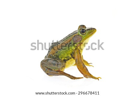 Frog isolated on a white background  #296678411