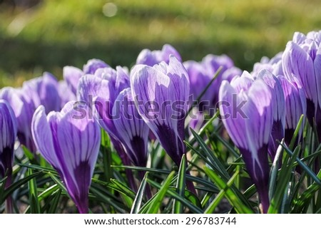 Crocus King of the Striped  #296783744